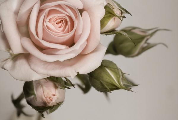 Фотообои/L КоллекцияКрупная роза 400х270 см