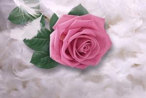 Фотообои/P коллекцияНежная роза на перьях 400х270