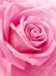 Фотообои/T коллекцияНежная роза 200х270