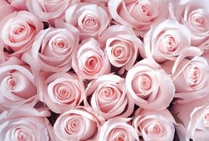 Фотообои/T коллекцияНежные розовые розы 400х270