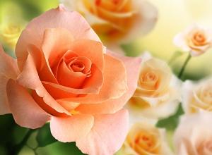 Розы 2 200х147 см
