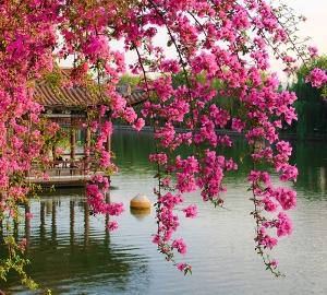 Фотообои/B коллекцияЦветущие ветви в саду Китая 300х270 см
