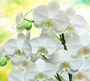 Белые орхидеи 300х270 см