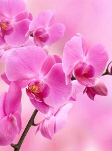 Фотообои/B коллекцияОрхидея розовая 200х270 см