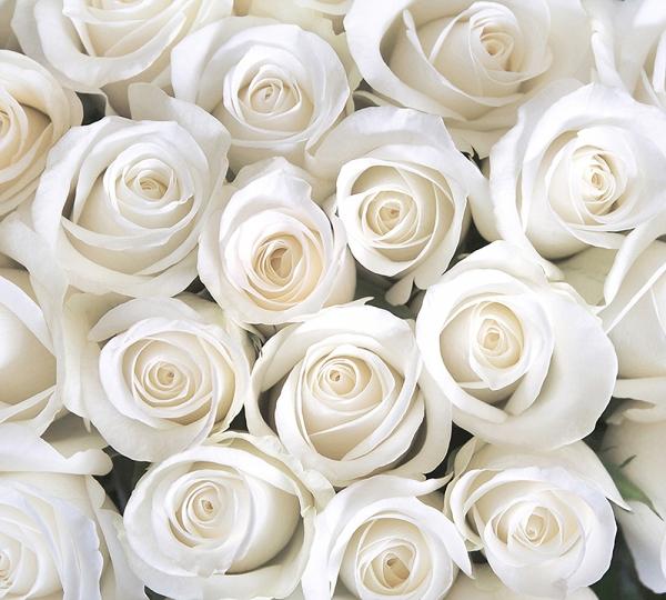 Розы белые 300х270 см