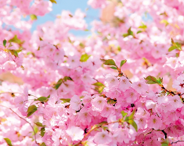 Ветви вишни 300х238 см