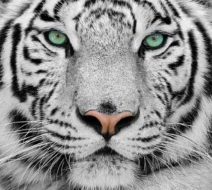 Белый тигр 300х270 см