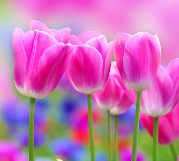 Фотообои/C коллекцияТюльпаны 300х270 см