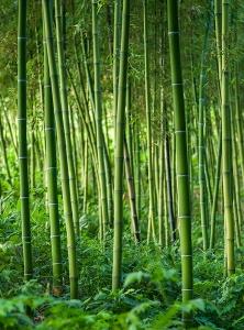 Заросли бамбука 200х270 см