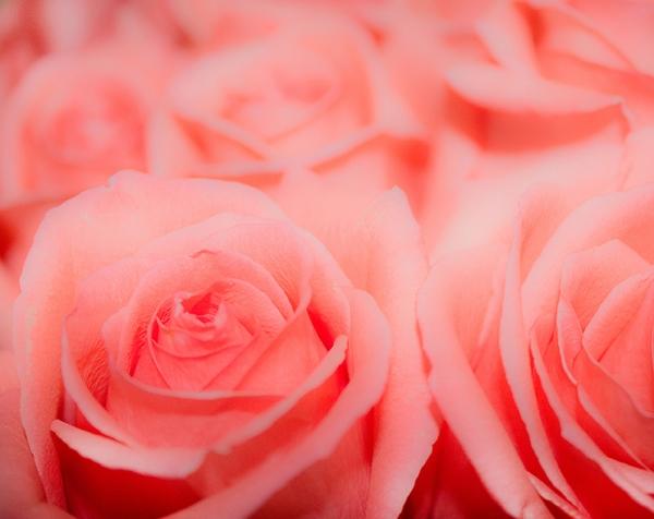 Розы макро 300х238 см