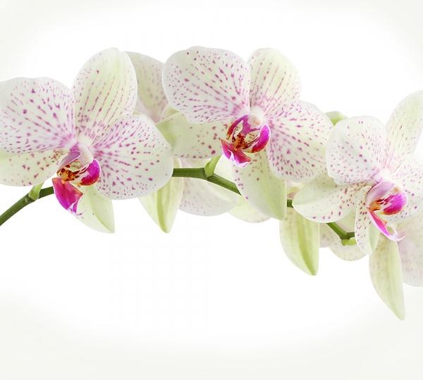 Орхидея веточка 300х270 см