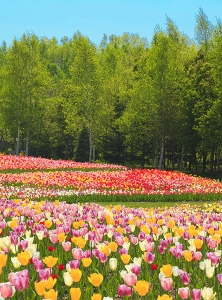 Поле тюльпанов 200х270 см